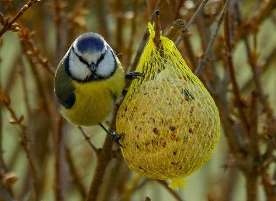 Kuukauden kysymys: Tarvitaanko lintujen ruokintaan taloyhtiön lupa, voinko asettaa lintulaudan parvekkeelleni tai ikkunalaudalleni?