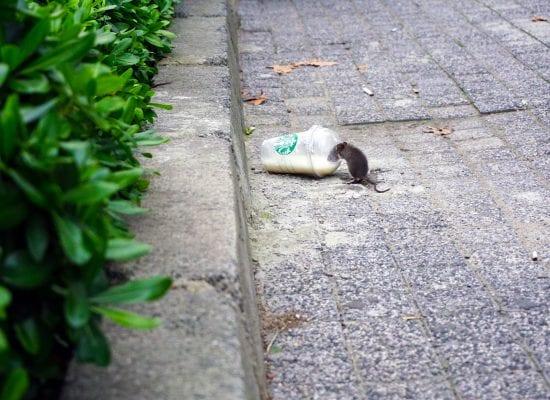 Kuukauden kysymys: Taloyhtiössämme on havaittu rottaongelma. Mitä tehdä?